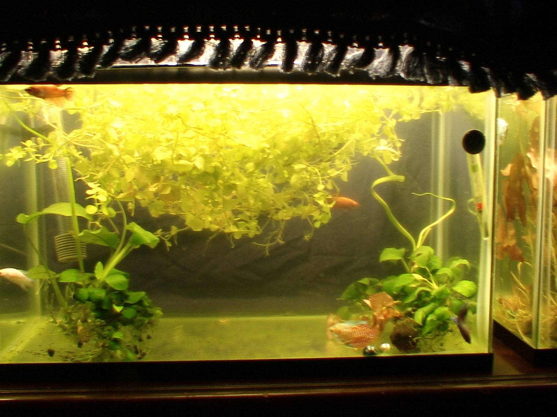 Freshwater fish no filter -  20150728 No Substrate Or Filter Or Air 006