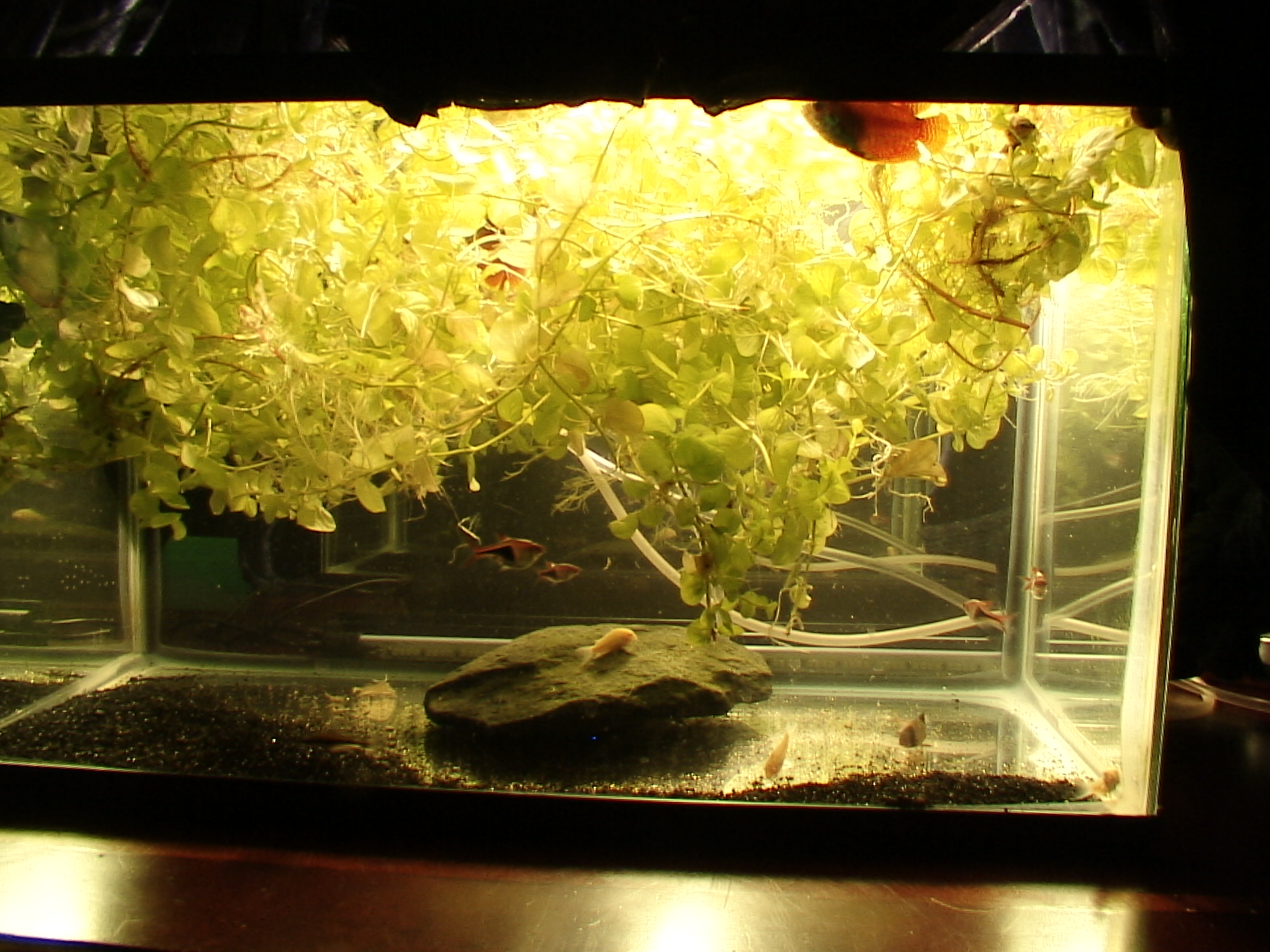 Freshwater fish no filter - 002 No Filters Little Substrate Plants