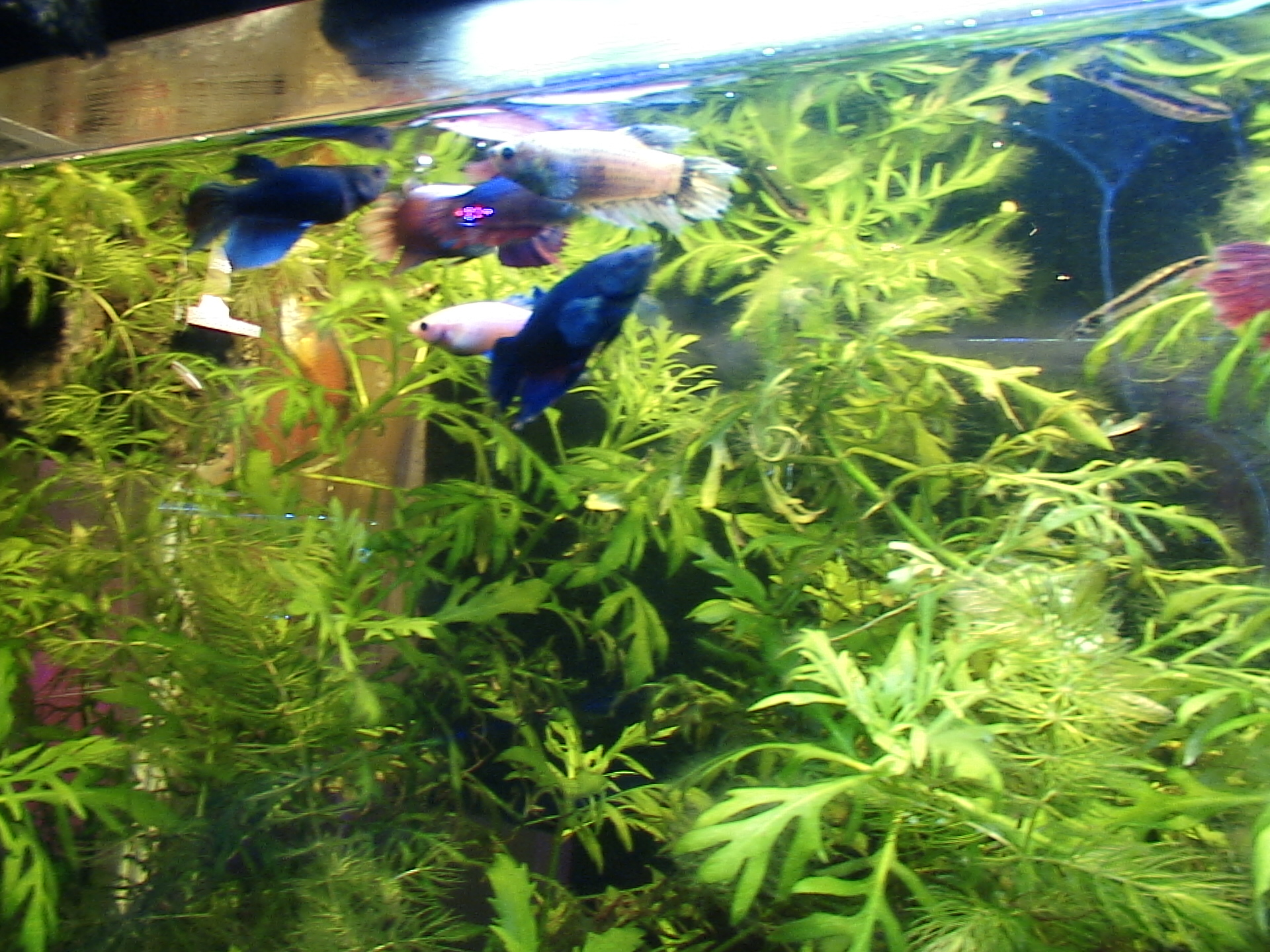 Four year old female long finned betta the planted tank for Dirty fish tank